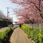 三浦海岸の河津桜を見に行ってきました。桜並木が1kmほど続いていてすごく綺麗!!