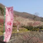 湯河原幕山公園の梅林を見に行ってきました!山全体に梅が咲き誇っていてとても綺麗!!